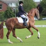 Figaro op zijn eerste wedstrijd 6-9-2015 galop volte 10 meter